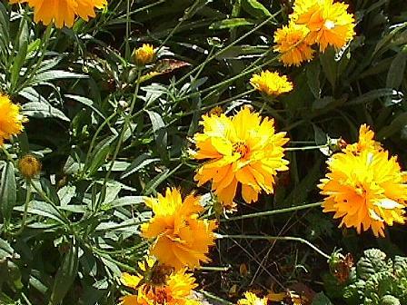 Vivace jaune fleur plante fleur bleue brasserie forest