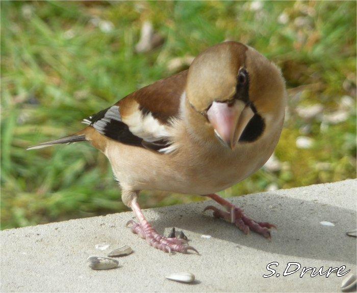 Oiseaux de notre jardin gros bec for Oiseau marron