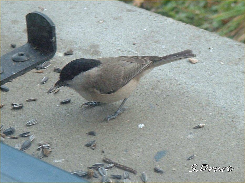 Oiseaux de notre jardin mesange nonette for Petit oiseau gris